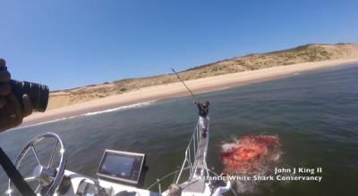 大白鯊咬海豹冒出 海水1秒染紅!