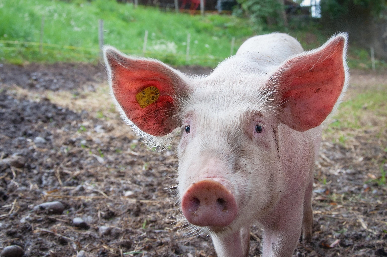 ▲▼豬、小豬             。(圖/取自免費圖庫pexels)