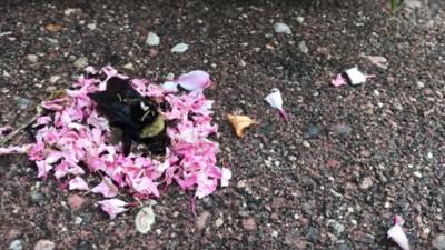 這是什麼儀式?螞蟻搬花瓣圍繞「熊蜂屍體」 畫面太淒美像辦喪禮