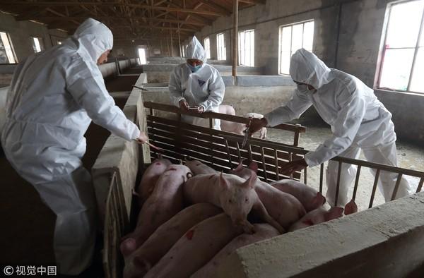 ▲▼半個月爆3起非洲豬瘟! 大陸豬價上漲至每公斤80元。(圖/CFP)