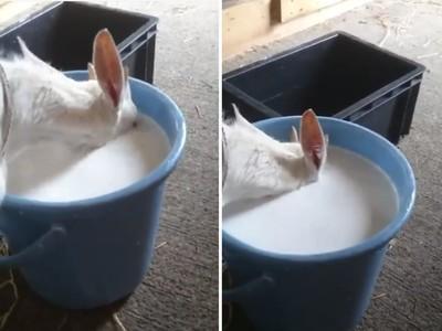這有鏘!小羊爽喝奶「整頭埋進桶」 都不用呼吸就對了(゚Д ゚)