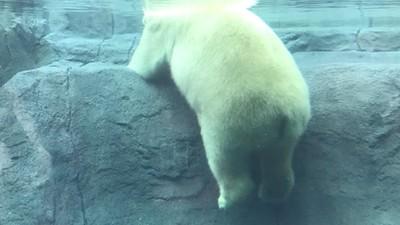 拍到北極熊「肥嫩圓屁」!10萬人笑牠動物園裡爽萌樣