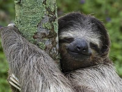 耍廢才不會滅絕!研究證實:最佳演化策略就是懶惰,不信你看樹懶