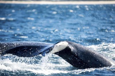3座頭鯨打招呼 她嚇哭打911