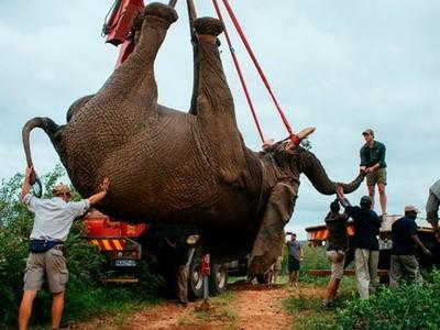 老象「2天走64公里」探望主人!棲息地遭惡鄰霸佔,再不走將被射殺