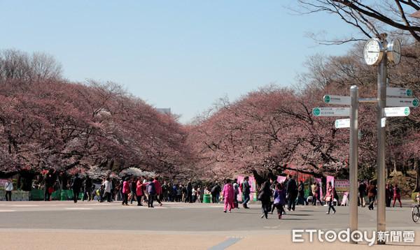 ▲▼上野公園櫻花。(圖/記者士原攝)