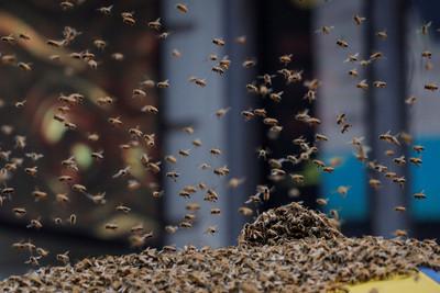 耳朵挖出蜜蜂!接小孩放學慘遭蜂群攻擊