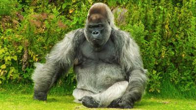 別以為只有人類會宮鬥! 黑猩猩客廳拉屎 被質疑立刻栽贓同類