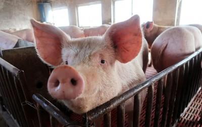 非洲豬瘟疫情燒 陸急開會議應戰