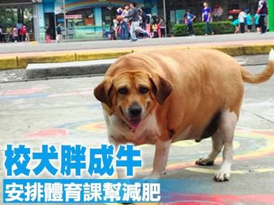 校犬胖成牛!小學宣導:全體勿餵食