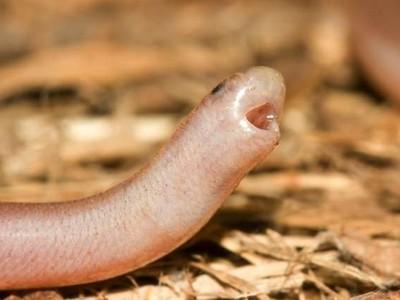 怕蛇的人看看牠嘛!「世上最廢蛇」生氣戳你兩下,還吐舌賣萌