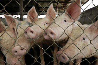 疑豬瘟影響 美輸陸豬肉量飆新高