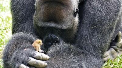 最萌體型差!猩猩老大遇上小嬰猴…瞬間變成溫柔保母