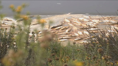 潟湖變魚湯…高溫「煮」死鯔魚 2000條魚屍湖面漂浮