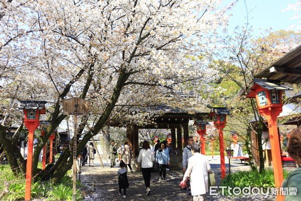 ▲▼京都平野神社櫻花。(圖/記者蔡玟君攝)