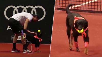 戴著護腕登場!巴西網球賽聘請呆萌「球僮犬」 這次別再咬球不放啦