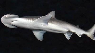 首度發現「吃素鯊魚」!窄頭雙髻鯊消化海草能力比綠蠵龜還強