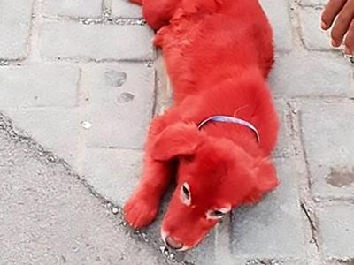 白毛汪被染成「鮮紅血色」吸引變態客 無良寵物店:高價才賣!