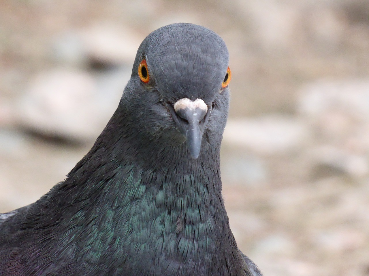 鴿子、鳥屎。(圖/pixabay圖庫)