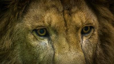 老了就沒用!9隻母獅「聯手撕咬」殺害年邁雄獅 管理員急衝阻止
