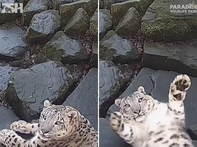 雪豹被相機嚇到「甩肥肚」投降