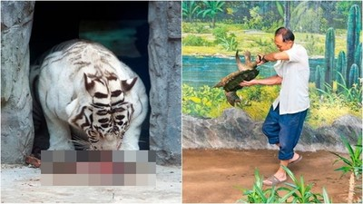 虎媽媽誕下死胎沒人管 野蠻北韓動物園 馴獸師手抓海龜尾巴亂甩