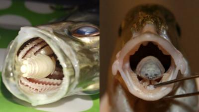 扳開魚嘴..神祕生物猛瞪!海中狠角色「魚蝨」 假裝舌頭搜刮食物