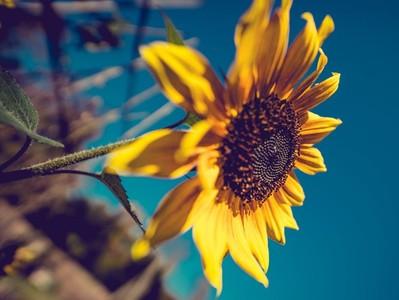 夢中出現向日葵是吉兆!夢到有人砍竹子...很不妙