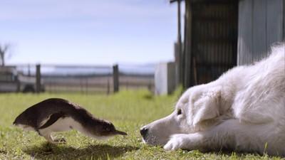 藍企鵝僅30公分「狐狸一叼就走」 找人站崗沒用...換牧羊犬來