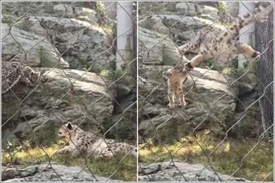 小雪豹嚇壞放鬆媽媽 神同步萌爆網
