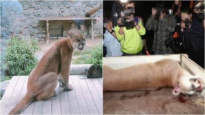 逃出動物園! 美洲母獅「遭部隊包圍射殺」幼獅焦慮...找不到媽