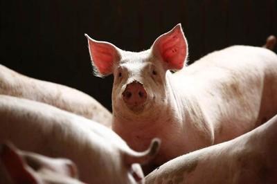 撲殺91.6萬頭豬 陸:豬瘟未蔓延