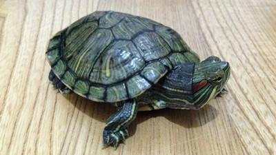 下體很癢「抓出一隻烏龜」!派對女王宿醉傻回:不知牠怎麼進去的