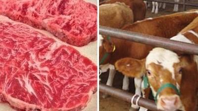「雪花牛」殘忍真相:養牛不餵草,狂餵玉米讓牠吃到直腸脫垂