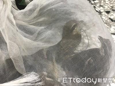 民眾嘴饞設鳥網陷阱捕6紅尾伯勞