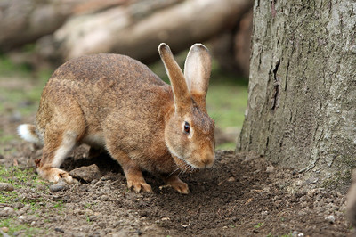 田裡追兔子結果產下怪胎 十八世紀「兔娘之亂」 迷之孕婦掀翻倫敦