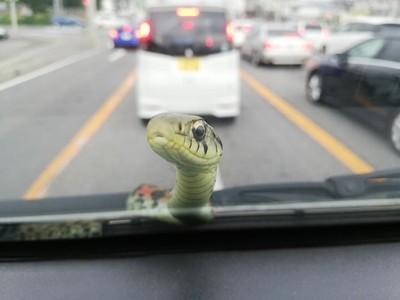 駕駛中「萌訪客」突探頭!小蛇猛往內看,圓圓大眼呆到受不了