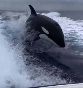 3虎鯨包圍漁船 漁民崩潰狂尖叫