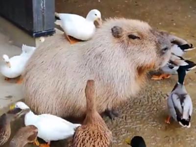 佛系霸主!水豚「定格打坐」飯來也不理...鴨子跳上狂踩還是淡定
