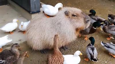 鴨軍團包圍! 水豚被理毛眼神死