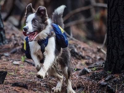呆萌牧羊犬日跑30公里灑種子!45萬公頃焚毀森林冒出滿地嫩芽