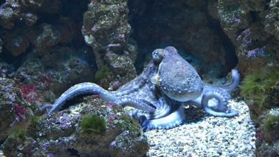 餵章魚吃「搖頭丸」 10分鐘見效…觸手纏著同伴猛親