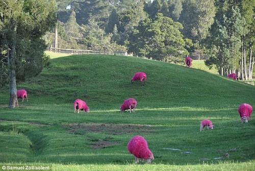 紐西蘭 News: 長新毛?紐西蘭「粉紅棉羊」爆紅