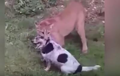 戰鬥民族養的美洲獅逃家 咬狗8分鐘