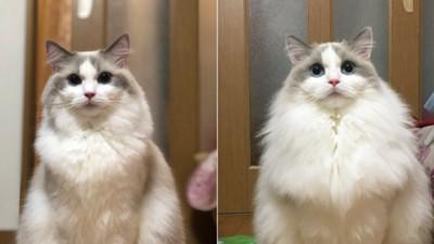 貓咪冬天會變飯糰!毛量暴增「多出半個自己」