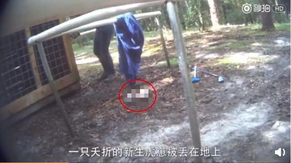 ▲▼一只死亡的小老虎被丢弃在地上。(图/翻摄自微博/PETA亚洲善待动物组织)