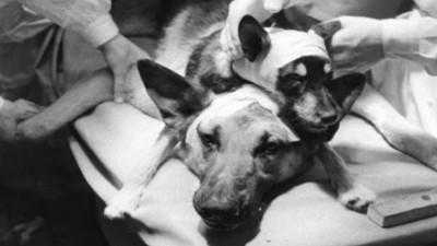 打造雙頭狗怪物!截掉半身縫合「使復活」 實驗犬想甩掉身上異物