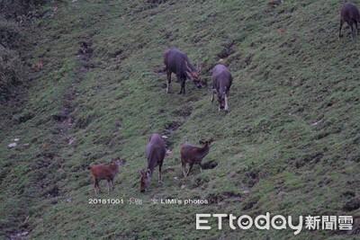 33年來首見! 玉山7隻水鹿群現身