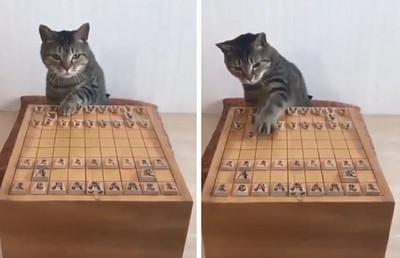「換你了!」貓皇下棋姿勢100分
