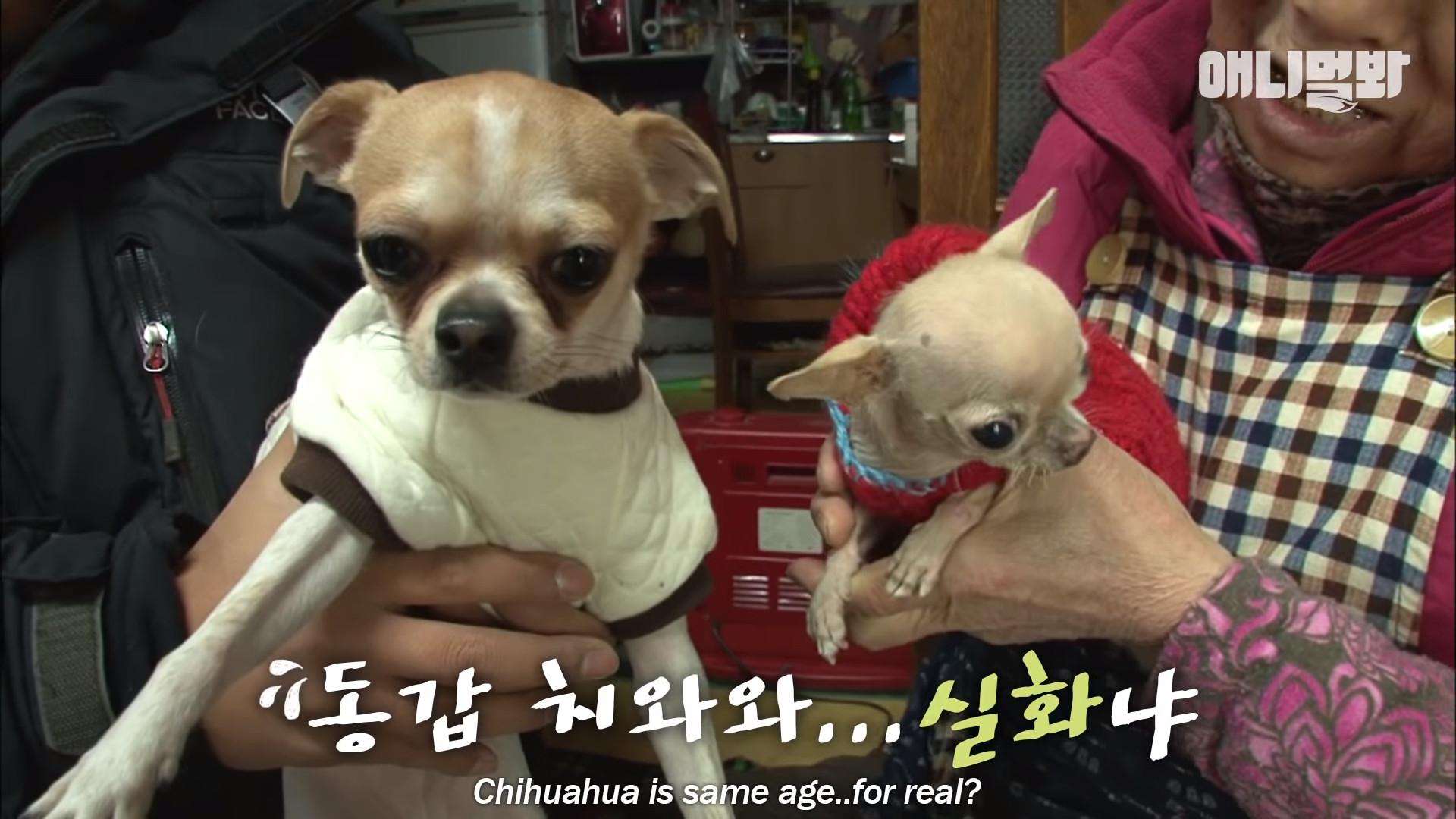▲▼小腦症吉娃娃石石(圖/翻攝自Youtube@SBS TV동물농장x애니멀봐)